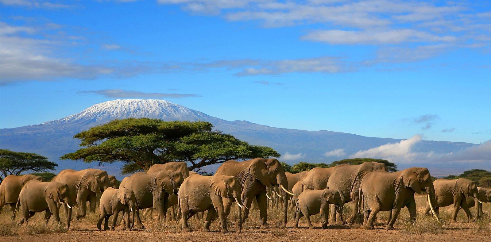 Kilimanjaro With Elephants Infront