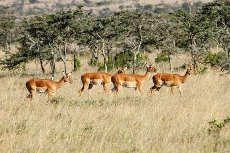 A herd of beautiful Impalas