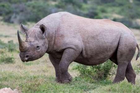 A Black Rhino in Ol Pejeta Conservancy