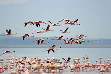 Flamingoes in Lake Nakuru National Park