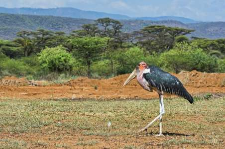 Marabou Stork at Lake Nakuru National Park
