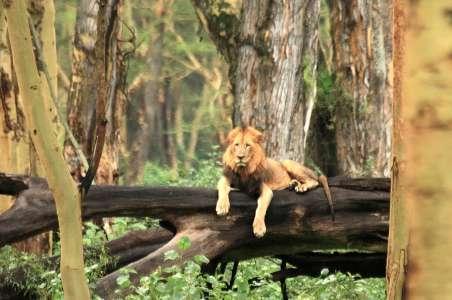 A lion in Lake Nakuru National Park, Kenya