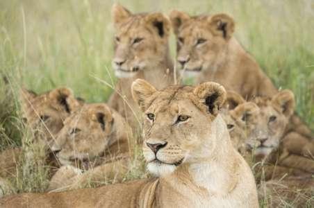 Pride of Lions, Serengeti, Tanzania