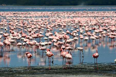 Pink-Flamingos at Lake Nukuru National Park
