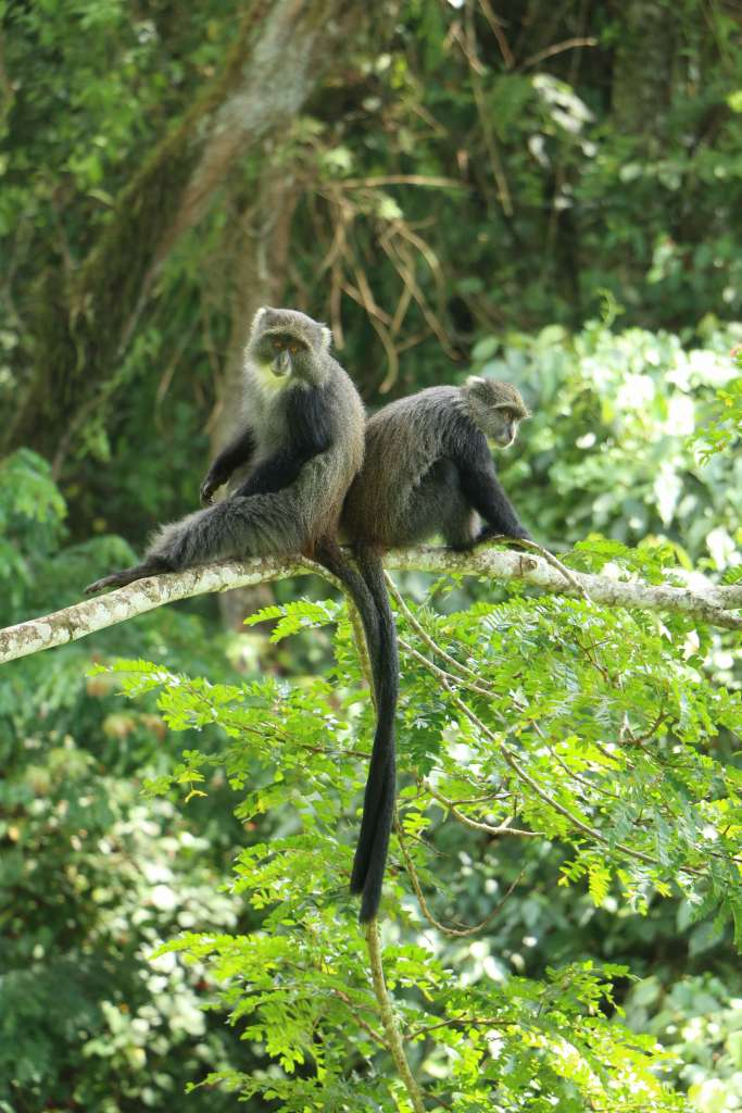 Blue Monkeys, Kilimanjaro fauna (Day 1)