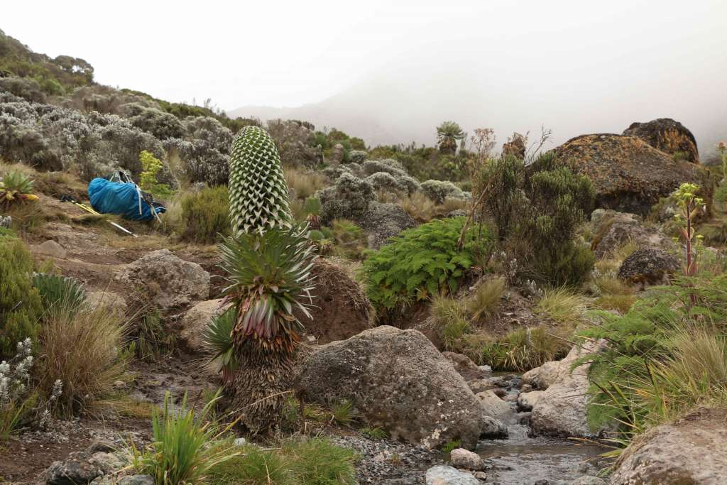 Giant lobelia, Kilimanjaro flora (Day 3)